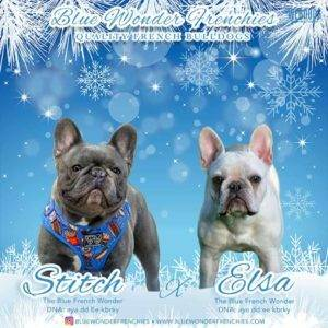 Blue Wonder Frenchies - Quality French Bulldogs
